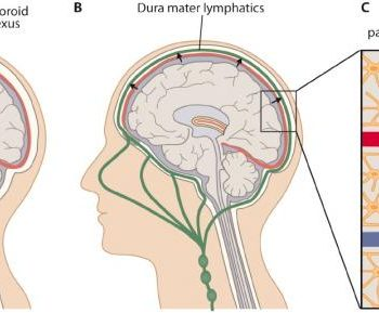 lymphatic system in brain
